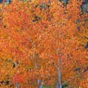 Translucent Aspen Orange Art Print