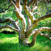 Tree In Golden Gate Park Art Print