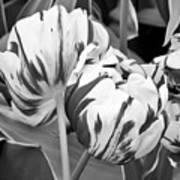 Tulip 11 Art Print