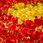 Tulips At Ottawa Tulips Festival Art Print