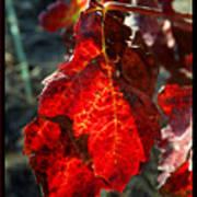 Vine Leaf At Fall Art Print