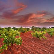 Vineyards At Sunset Art Print