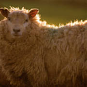 Welsh Lamb In Sunny Sauce Art Print