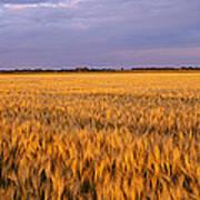 Wheat Crop In A Field, North Dakota, Usa Art Print