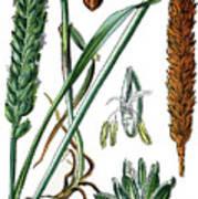 Wheat, Triticum Vulgare Art Print