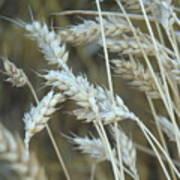 Wheats  Art Print