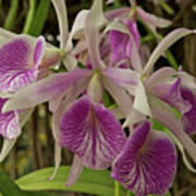 White And Purple Orchids Art Print
