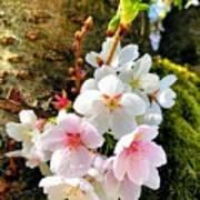 White Apple Blossom In Spring Art Print