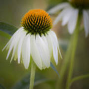 White Coneflower Art Print