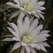 White Echinopsis Art Print