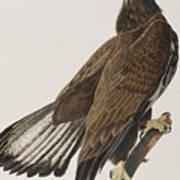White-headed Eagle Art Print
