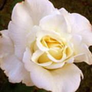 White /rose Photograph Art Print