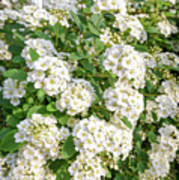 White Spiraea Flower Art Print