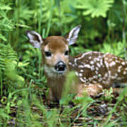 White-tailed Deer Odocoileus Art Print