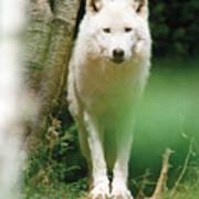 White Wolf Stare Art Print