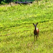 Whitetail Deer And Hay Rake Art Print