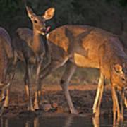 Whitetail Deer At Waterhole Texas Art Print