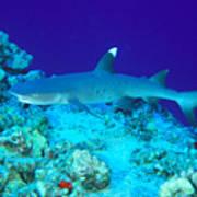 Whitetip Reef Shark Art Print