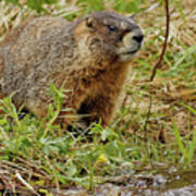 Yellow-bellied Marmot Art Print