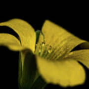 Yellow Clover Art Print