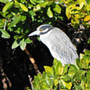 Yellow Crowned Night Heron Art Print