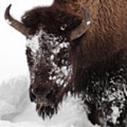 Yellowstone Buffalo Art Print