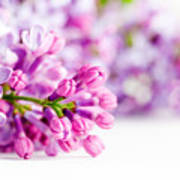 Young Spring Lilac Flowers Blooming Art Print