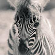 Zebra Colt In Spring Art Print