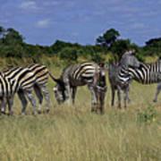 Zebra Group Art Print