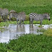 Zebras In The Swamp Art Print