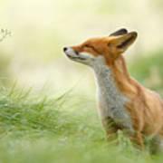 Zen Fox Series - Zen Fox Art Print