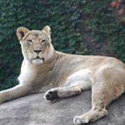 Zoo Lion Art Print
