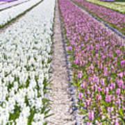 Hyacinths Fields Art Print