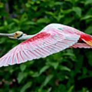 Roseate Spoonbill In Flight Art Print