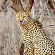 1022 Cheetah Art Print
