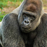 10898 Gorilla Art Print