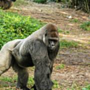 10899 Gorilla Art Print