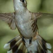 Female Ruby-throated Hummingbird Art Print