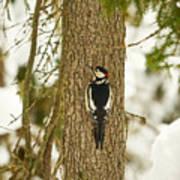 Great Spotted Woodpecker Art Print