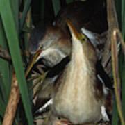 Least Bitterns On Nest Art Print