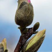 Magnolia Bud Art Print