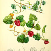 Illustrations Of The Flowering Plants And Ferns Of The Falkland Islands Art Print