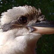 Australia - Kookaburra Poses Art Print