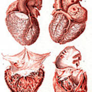 Heart, Anatomical Illustration, 1814 Art Print