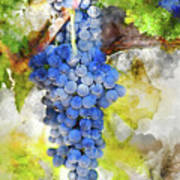 Red Grapes On The Vine Art Print