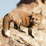 Red Tailed Fox Art Print