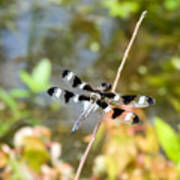 12 Spotted Skimmer Dragonfly 2 Art Print