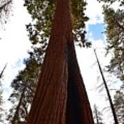 Giant Sequoia Trees Art Print