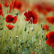 Summer Poppy Meadow Art Print