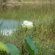 White Lotus Flower Flower Lotus Nature Summer Green Plant Blossom Asian Art Print